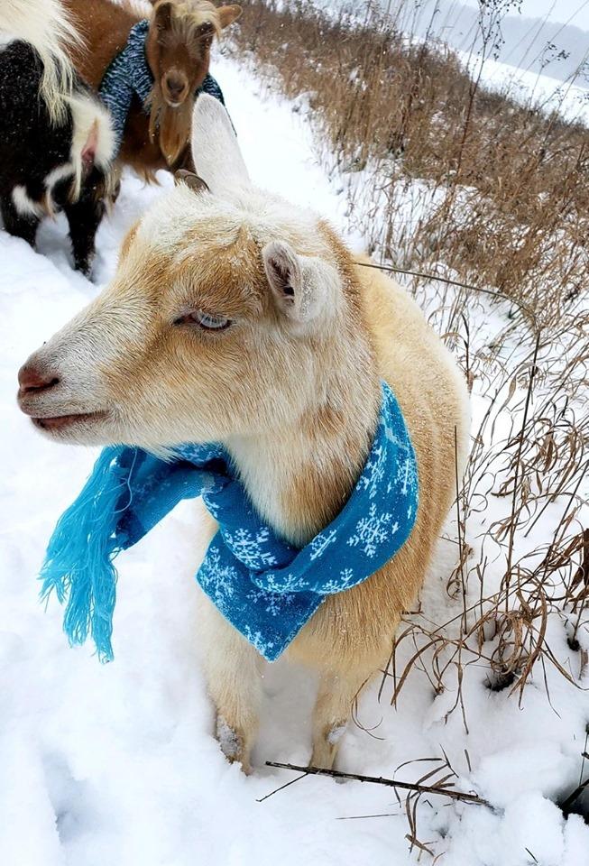 Holiday Goat Yoga